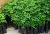 Manfaat Pohon Kelor dan Harga Bibit Pohon Kelor